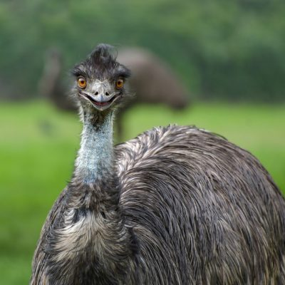 5 Uses Of Emu Oil Utilizing by Emulate Products