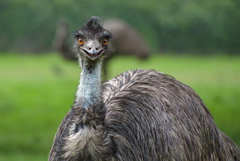 5 Benefits of Emu Oil
