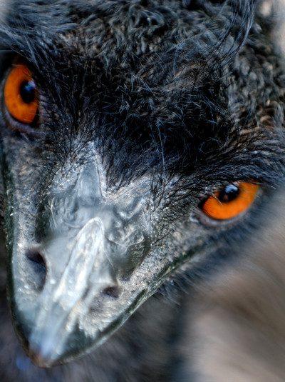 Emu Oil Benefits